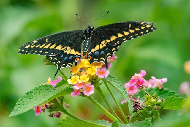Black Swallowtail, Heard Natural Science Museum & Wildlife Center