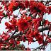 বিলুপ্তির পথে ফাল্গুনের শোভাবর্ধন কারী শিমুল গাছ