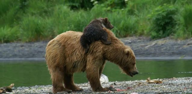 famous Kodiak brown bears KodiaK, Alaska