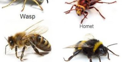 Hornet vs Wasp vs Yellow jacket sting