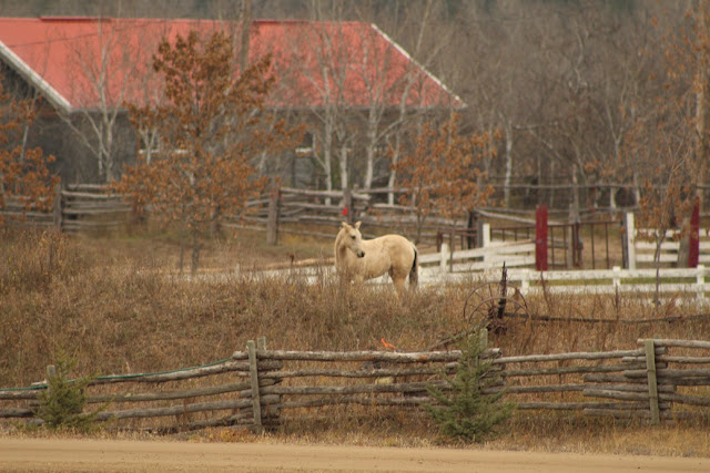 White horse in a fenced yard