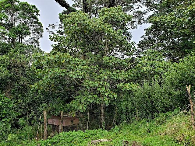 malvaceae heliocarpus appendiculatus tree costa rica