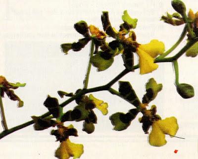 oncidium excavatum