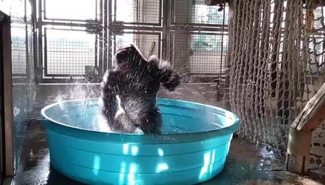 """Gorila faz sucesso ao som da trilha do filme """"Flashdance"""""""