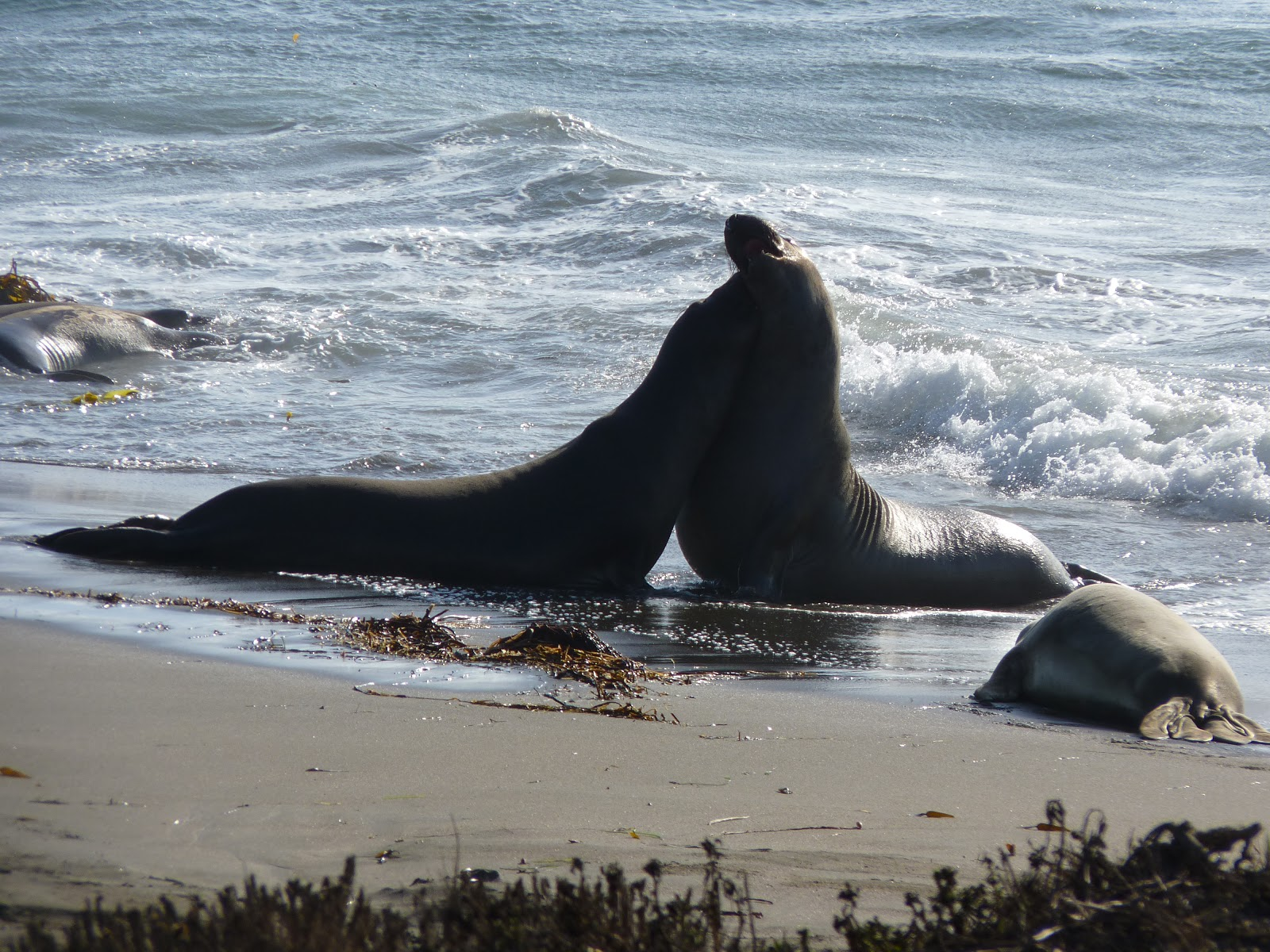 Les éléphants de mer de Piedras Blancas