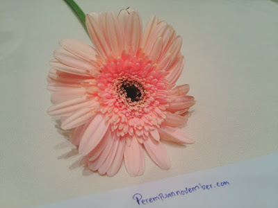 bungan daisi