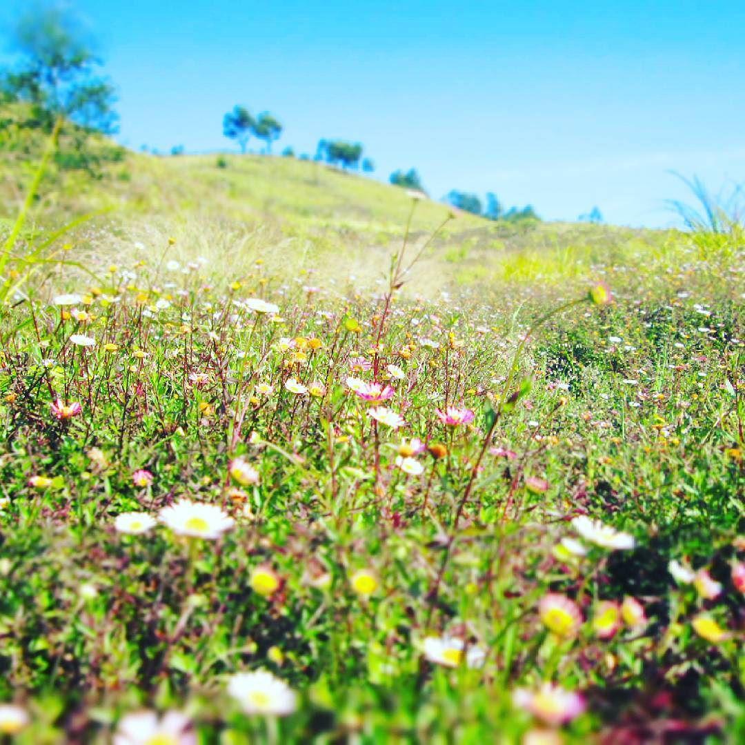 Bunga Daisy Gunung Prau
