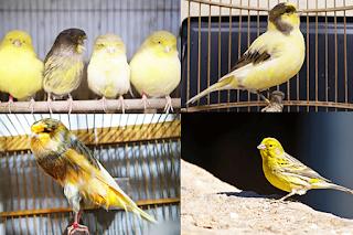 Nama-Jenis-jenis-Burung-kenari-yang-bagus-dan-populer-di-Indonesia