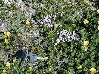 Phlox sibirica pulvinata, Tundra Communities, Rocky Mountain National Park