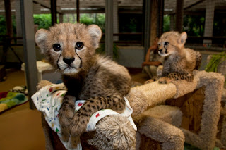Home Trained Cheetah Cubs