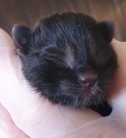 tiny black kitten in human hand