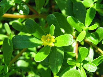 Φαγώσιμα χόρτα και βότανα στην ύπαιθρο