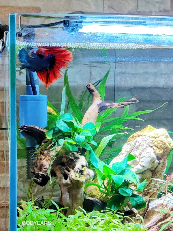 The birthing ritual of the betta fish / siamese fighting fish is truly unique