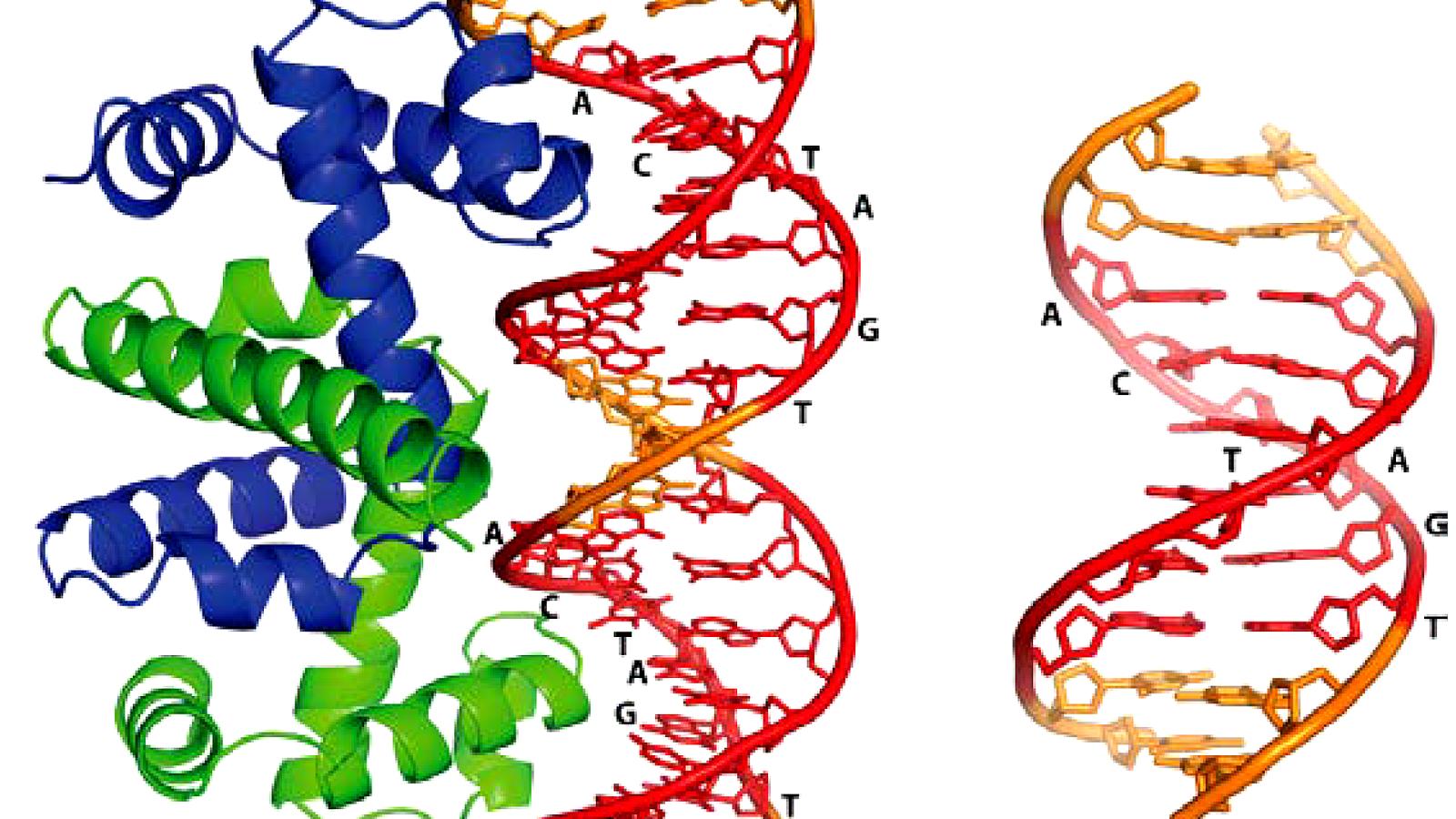 Protein-DNA-Interaktion - Wikipedia