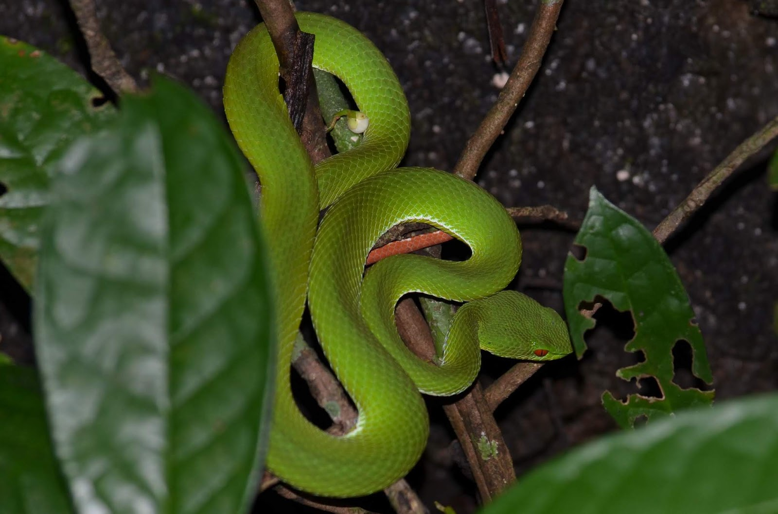 Francis Burlingham Nature And Jungle Adventures With A Camera In South East Asia Cat Tien Np Vietnam And The Ruby Eyed Pit Viper