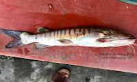 Sagor Catfish