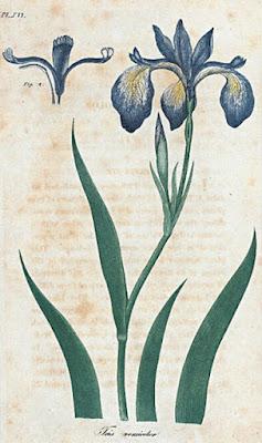 Blue Flag (Iris veriscolor) also called the Flower de luce