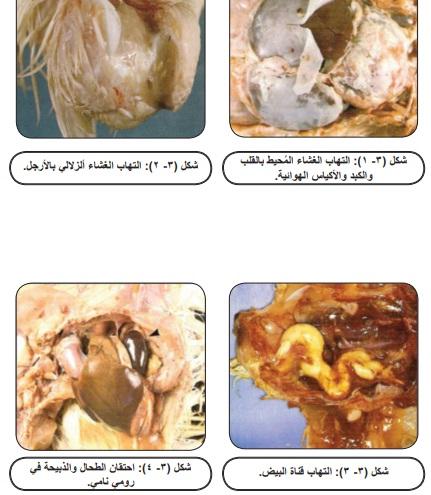 ما هي الامراض البكتيرية التي تصيب الدواجن وطرق العلاج بالصور والتشريح