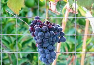 grape diet