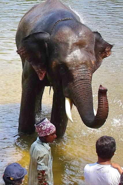 Baby Elephant Bathing in Dubare Elephant Camp, Coorg