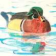 Wood Duck - Painting and Photography
