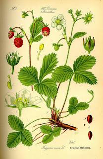 Planta de Fresas en Fichas de Plantas