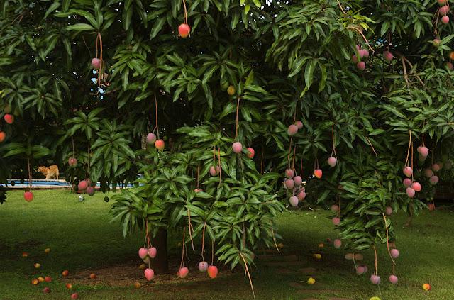 Cara jitu memaksa buah mangga berbuah di luar musim