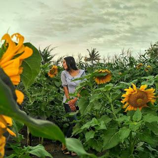 Lokasi Dan Tiket Masuk Kebun Bunga Matahari Pantai Glagah Kulon Progo