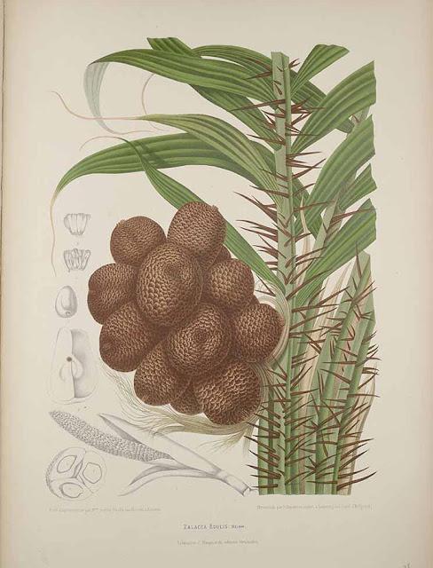Salak jadalny, wężowy owoc, wężowa palma, oszpilna jadalna (Salacca zalacca) - pochodzenie, historia, opis, wygląd, zdjęcia, kwiaty, liście, owoc, pokrój, nazwa.