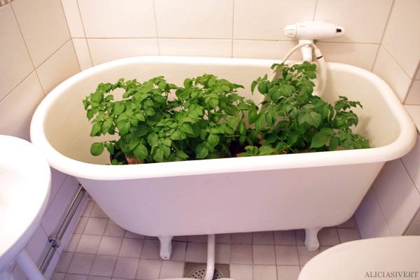 aliciasivert, alicia sivert, alicia sivertsson, odling, plantera, änglamark, ekologisk potatis, änglamarks ekologiska odlingsjord, kruka, skott, potatis, potatisplanta, gro, grodd, hink, kruka, balkong, blast, skelett, plant, potatoes, potatoe, organic, ecological, balcony, bucket, bathtub, badkar