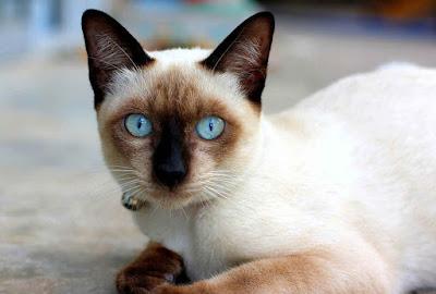 Gambar kucing peliharaan