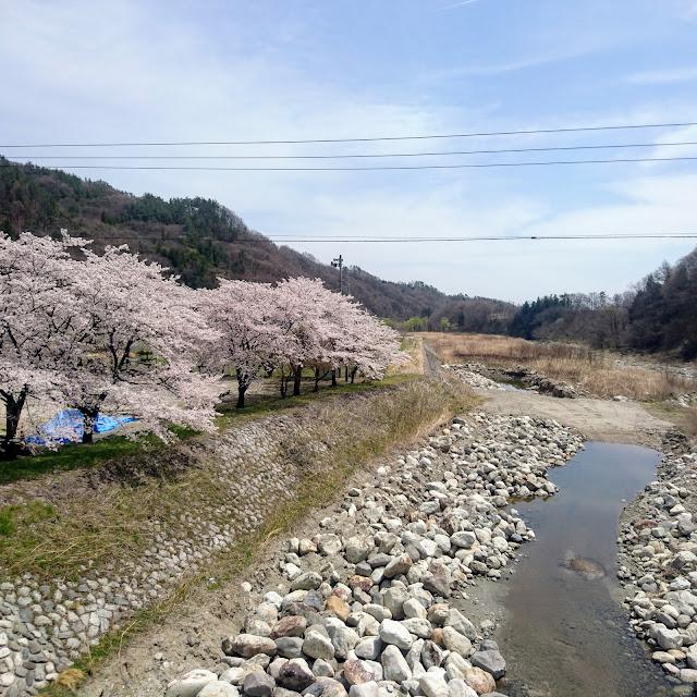 釜無川 桜