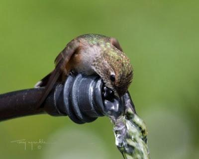Fotografia picaflor bebiendo agua