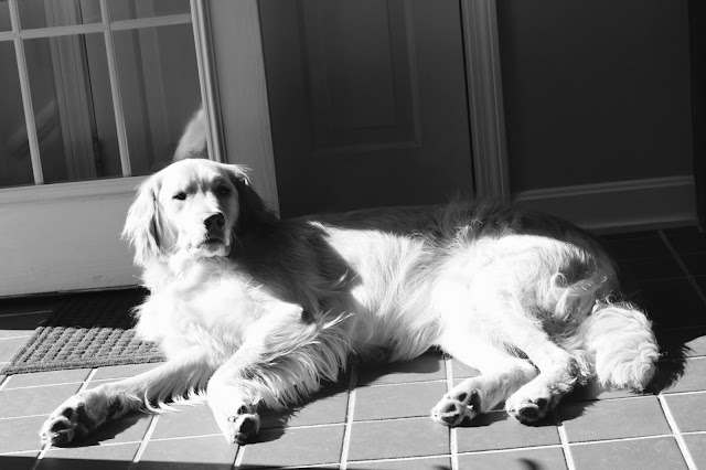 golden retriever soaking up sun puddle black and white sunday