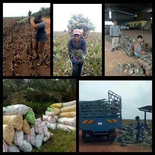 Lowongan Kerja Perkebunan Malaysia Barat Kebun Nanas Biaya Potong Gaji.