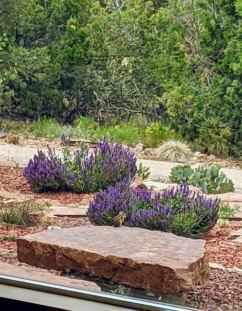 Purple salvia and chipmunks