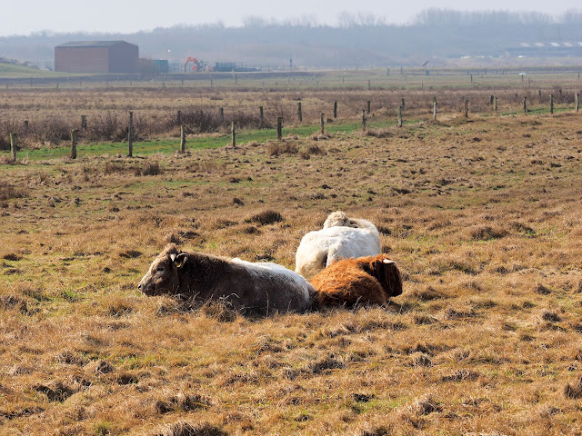 Langeoog, Rinder, Binnenweide