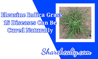 Eleusine Indica Grass, 15 Diseases Can Be Cured Naturally