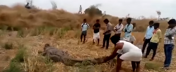A video of a group of villagers smashing a crocodile to death has surfaced.  The unfortunate animal, which may have strayed out of a river, was caught by the villagers at a nearby field.  They chased and cornered the crocodile, before turning its head into a pulp with stones.