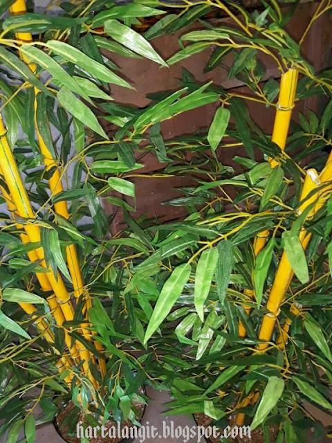 gambar tanaman hias bambu kuning