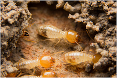 6 Easy Ways to Spot Early Signs of Termites at Your Home