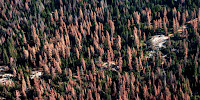 Dead trees in a California forest in August 2016. (Credit: U.S. Forest Service) Click to Enlarge.