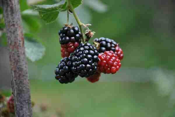 शहतूत खाने के जबरदस्त फायदे | Health benefits of mulberry in hindi