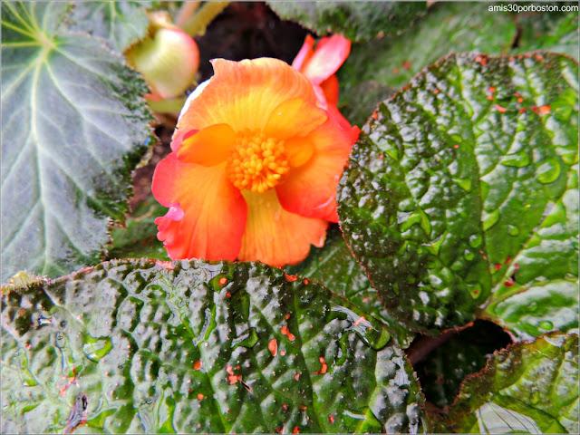 Begonias and Gesneriacea: Begonia Scarlanda