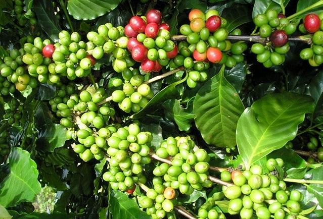 Giá cà phê hôm nay 15/7: Điều chỉnh tăng 500 đồng/kg trên diện rộng