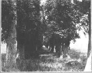 Photograph of the avenue of elms