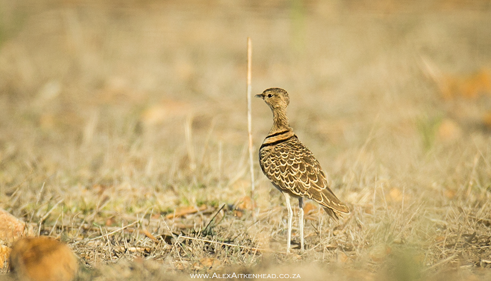 Double Banded Courser, Rhinoptilus Africanus, Malmesbury, Western Cape, Rare Bird Findings, Alex Aitkenhead, Photography, Trevor Hardaker, Lifer, Birds, Bird Photography, Breeding birds, Cape Town, South Africa