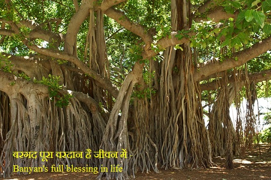 Banyan's full blessing in life