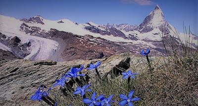 Piante alpine verso estinzione lenta
