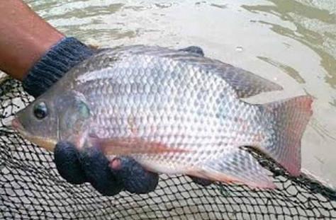 Unduh 73+ Gambar Ikan Nila Badot HD Gratis
